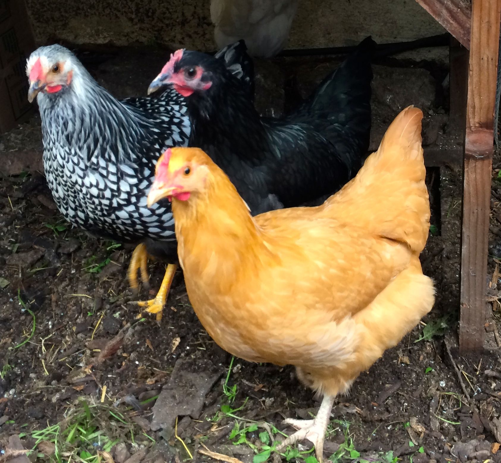 A Guide To Raising Urban Backyard Chickens For Busy People